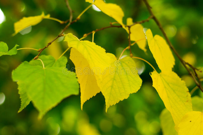 Birch leaves on the branch stock images