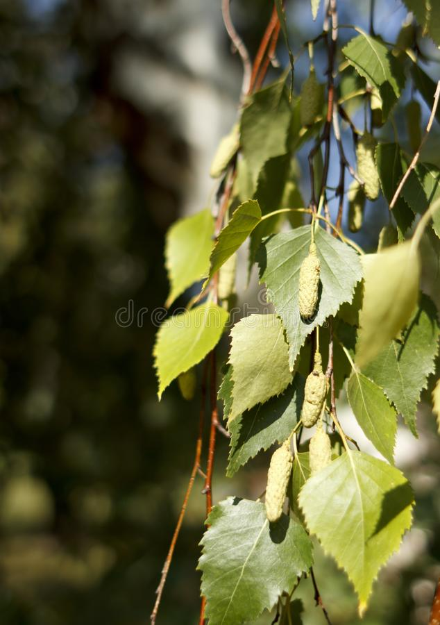 The birch leaves with buds in daylight royalty free stock images