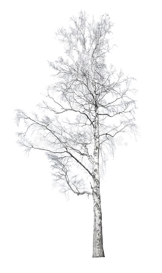 Large bare birch isolated on white royalty free stock photos