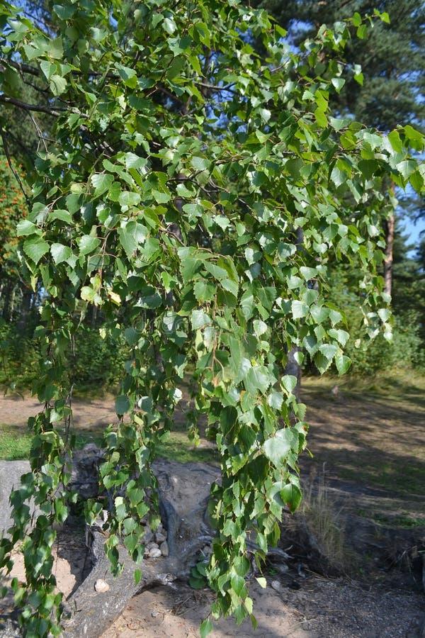 Birch leaves stock photos
