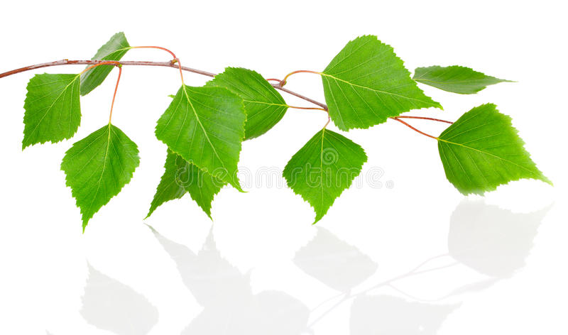 Birch leaves. On white background stock images