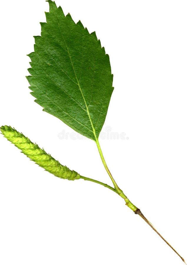 birch liści, zdjęcie stock