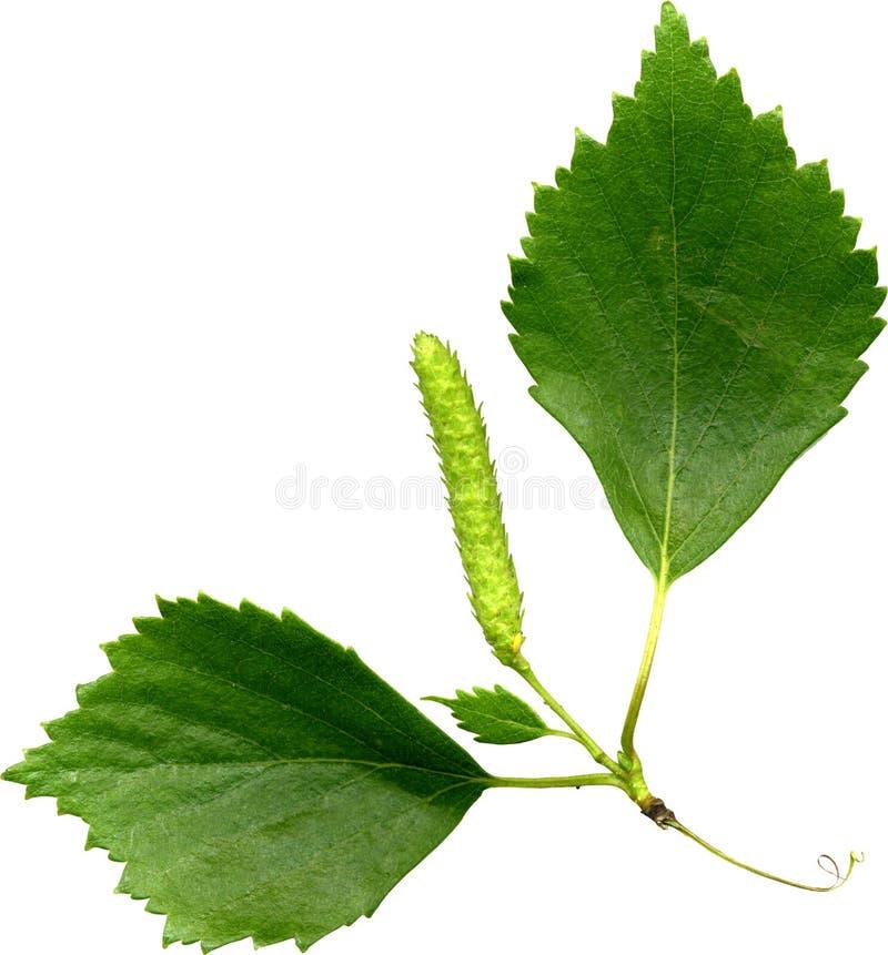 birch liście fotografia stock