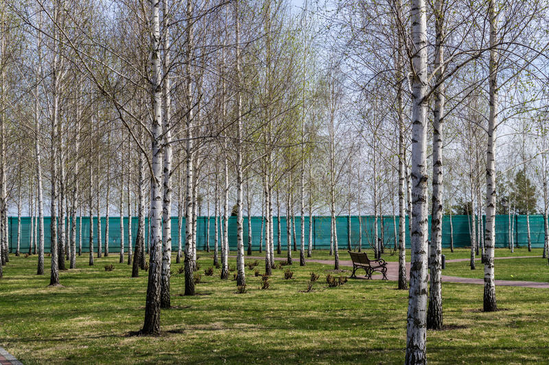 Birch park in Ukraine stock image