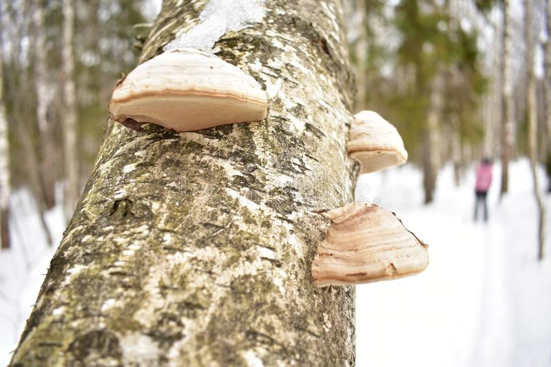 Birch polypore mushrooms mixed winter mixed forest trails. Spores of these fungi are in special microscopic formations stock photography