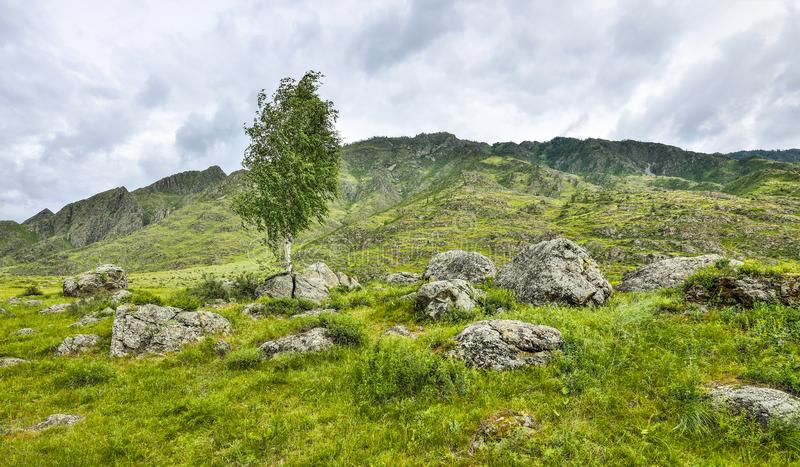 Birch roots sprouted through a stone and split a boulder. Summer. Landscape in the Altai Mountains, Russia - the concept of survival in adverse conditions stock images
