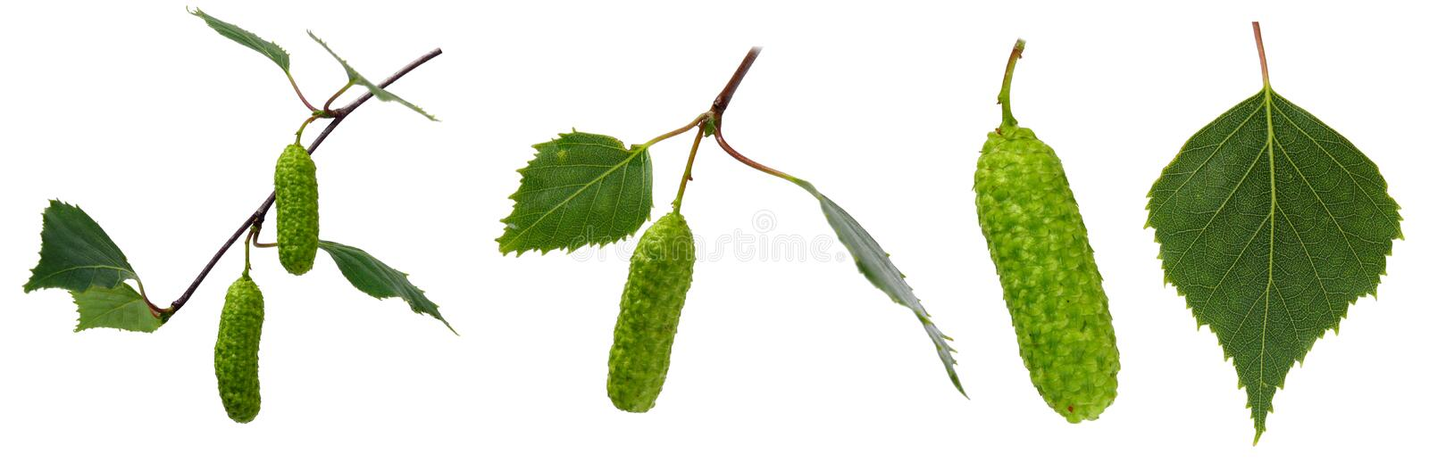 Birch set. Isolated on white. Leaves and fruit royalty free stock photo