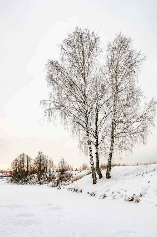 Birch on the shore in the winter. Three birches on the river Bank in winter in frosty weather in the morning stock photo