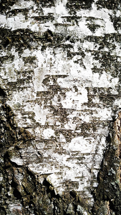 Birch skin. The beauty of the forest stock images