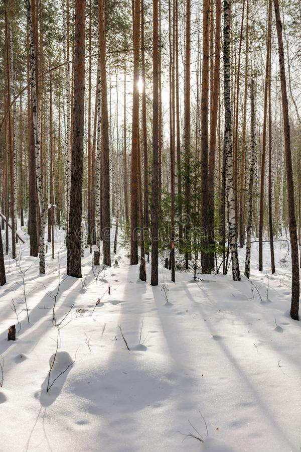 Birch and spruce forest on a winter day with fresh white snow stock photo