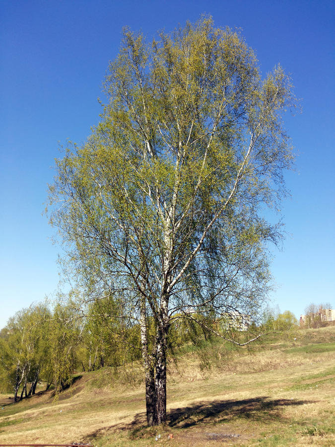 Birch standing on the hill. Beautiful tree. Birch, bowed their branches, one is on a hill. Branches covered with young green leaves. May. Spring. Sunny day. The royalty free stock photography