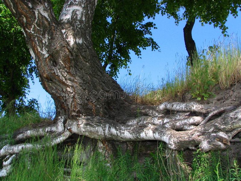birch stara fotografia stock