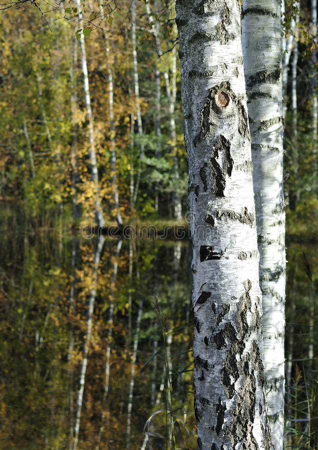 The birch stems royalty free stock photo