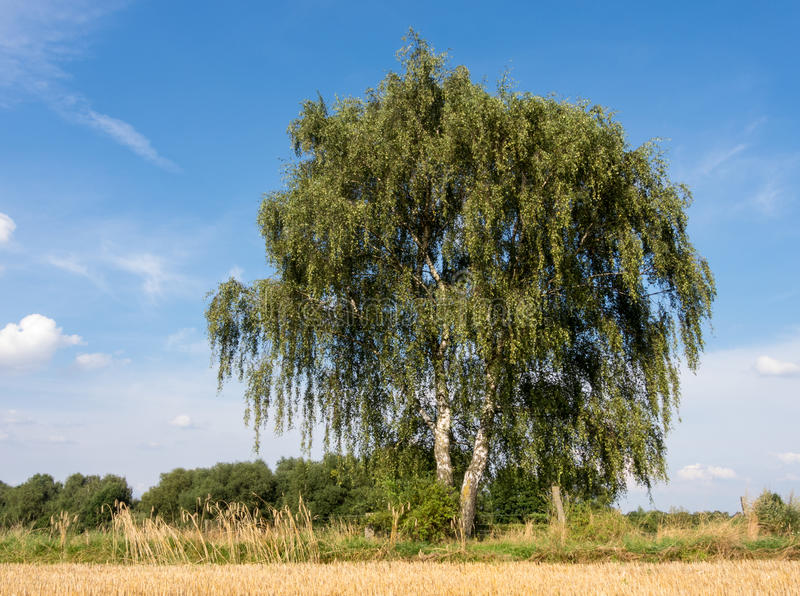 Birch at a stubble field royalty free stock images