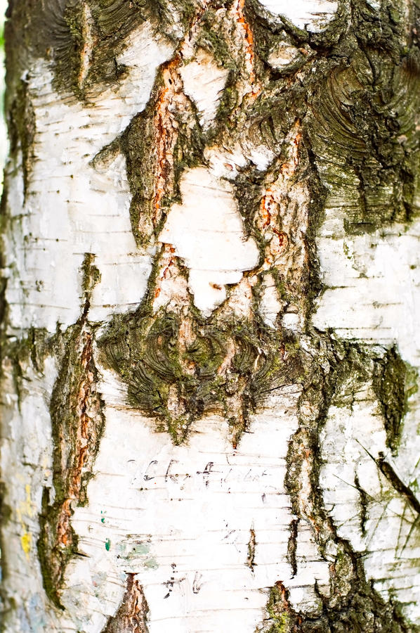 Download Birch texture stock photo. Image of organic, nature, abstract - 15122548