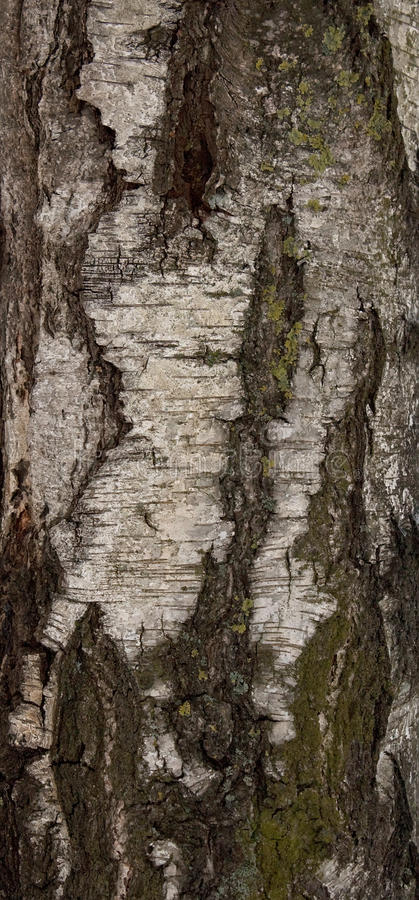 Free Birch Texture Stock Photography - 17648102