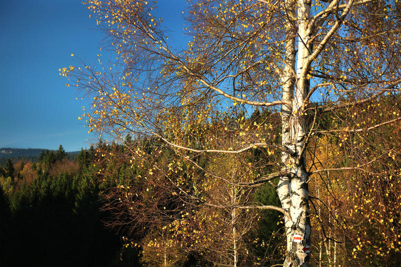 Birch with tourist signs royalty free stock images