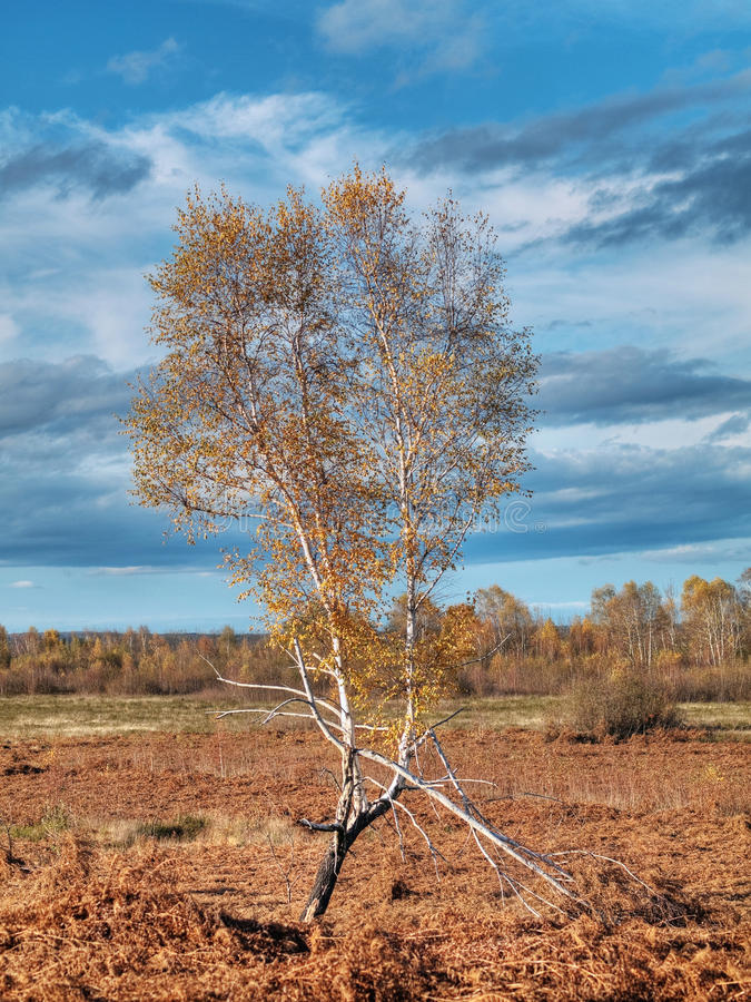 Download Birch tree stock photo. Image of landscape, dramatic - 12063656