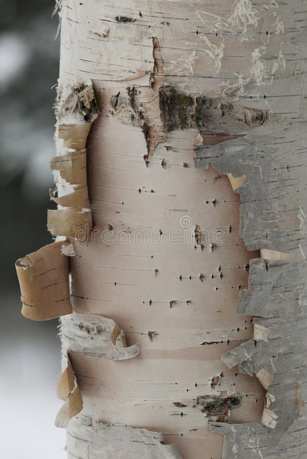 Download Birch Tree Stock Photo - Image: 13840650