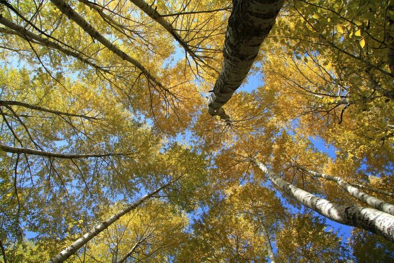 Download Birch tree stock photo. Image of scenery, outdoor, tree - 26440006
