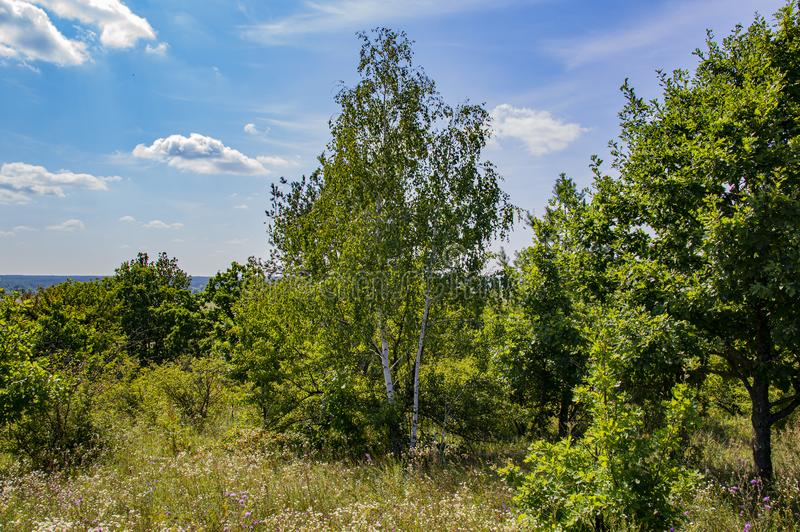 Birch tree against the blue sky royalty free stock photo