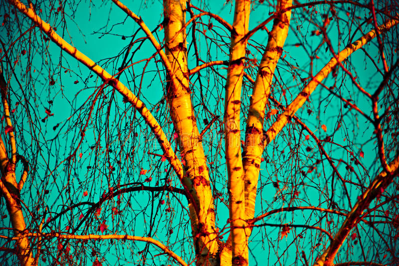 Birch tree in autumn. Against Blue Sky stock photography