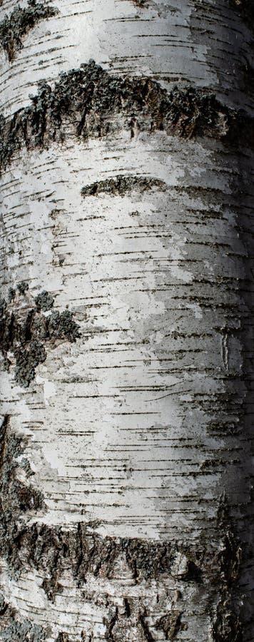 Birch Tree Bark stock photography