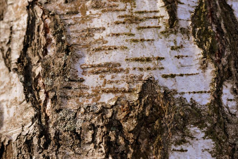 Birch tree bark texture and background. Brown color toned royalty free stock photos
