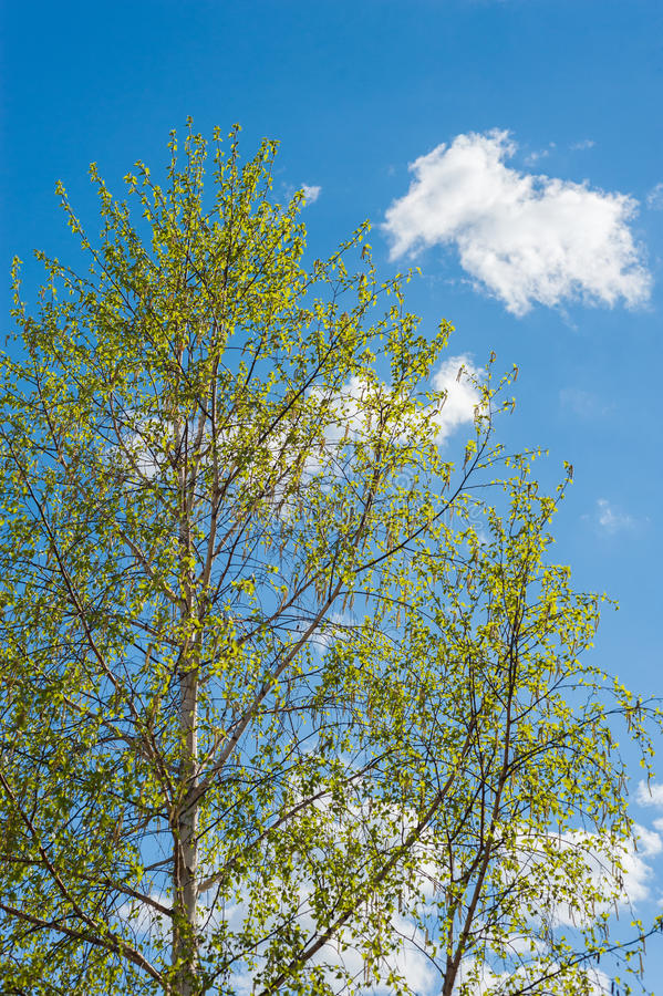 The birch tree blue sky clouds spring royalty free stock photography