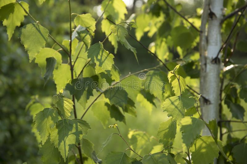 Birch tree branch with fresh leaves in spring stock photos