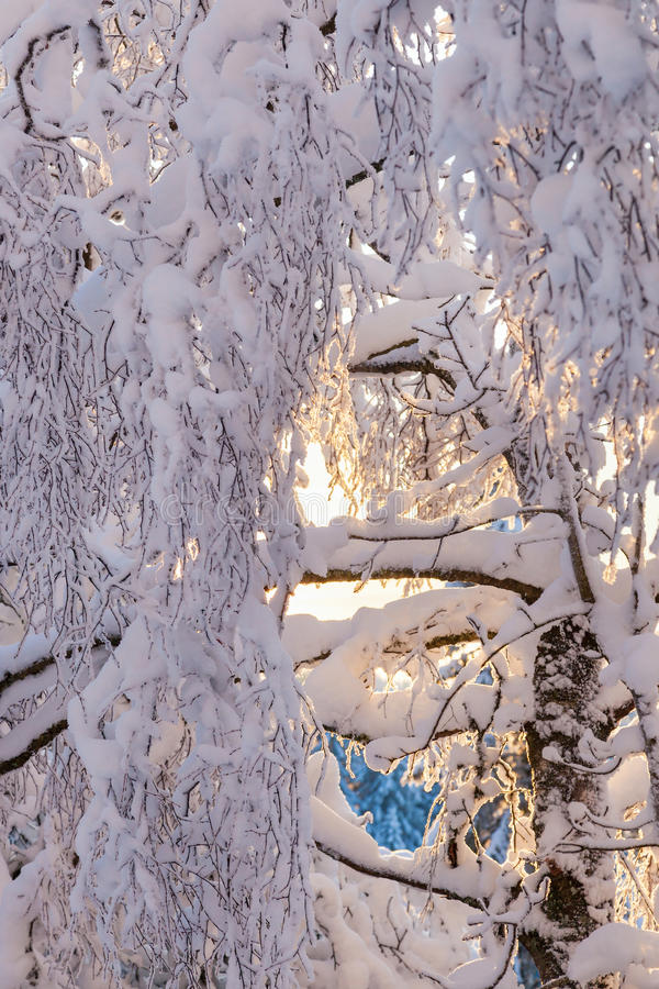 Birch tree branch with snow royalty free stock image