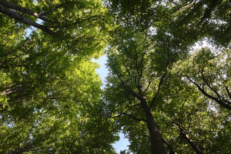 Birch Tree Canopy. In sunny day stock photo
