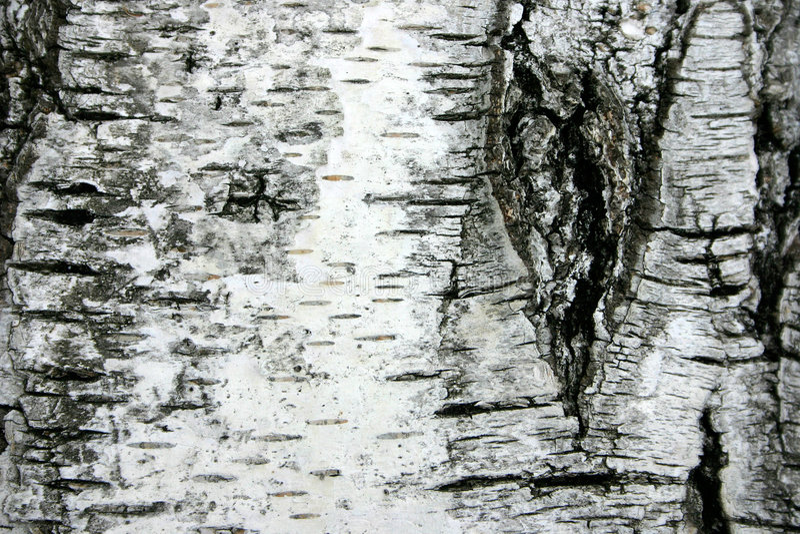 Birch Tree Cortex royalty free stock photos