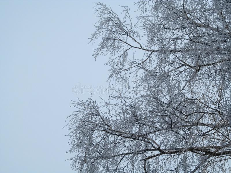 Birch Tree Crown in hoarfrost against a backdrop of a light blue, almost white winter sky. Geometric background of bushy thin stock images