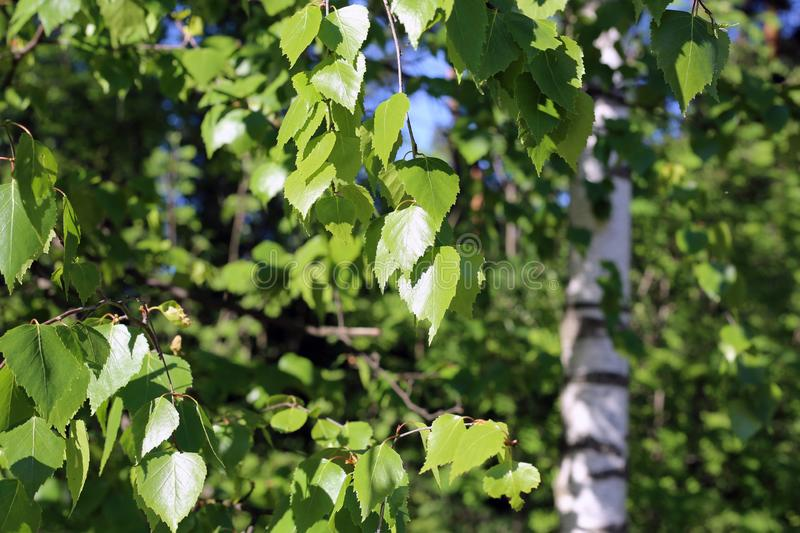 Birch Tree Details: Green Leaves, Branches and Trunk. Birch tree details - green leaves, branches and some trunk in the background. Colorful spring / summertime royalty free stock photos