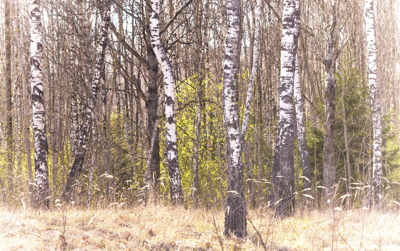 Birch tree in early spring (Betula). Birch background (early spring view royalty free stock photos