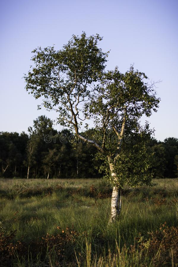 Birch tree in field, autumn stock images