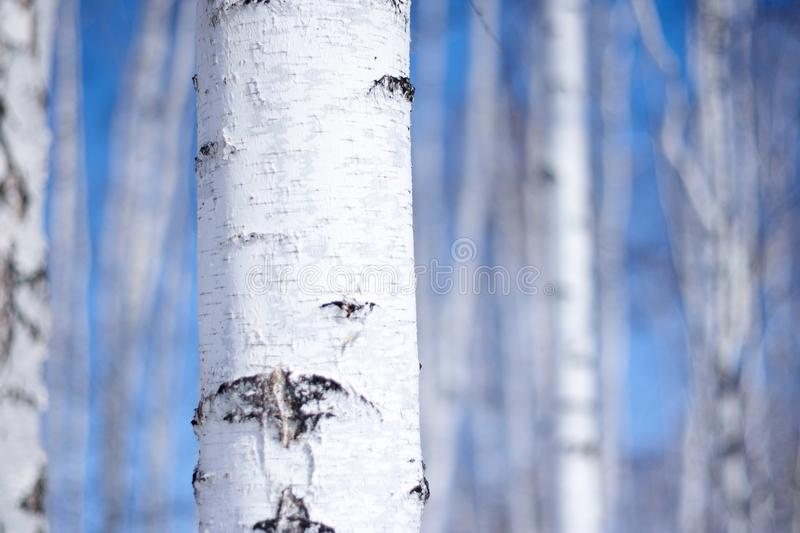 Birch tree forest, the environmental backgr stock photos