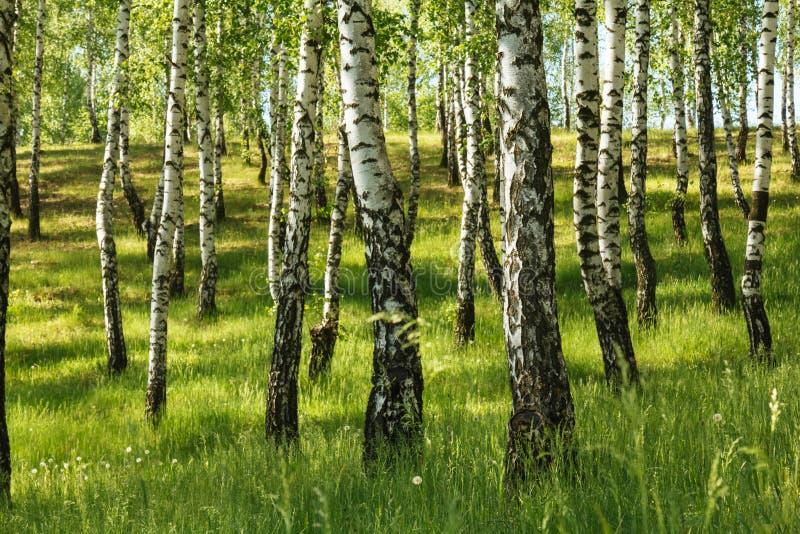 Birch tree forest stock photos