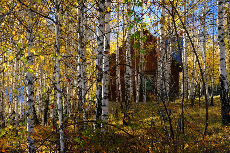 Birch tree forest royalty free stock photos