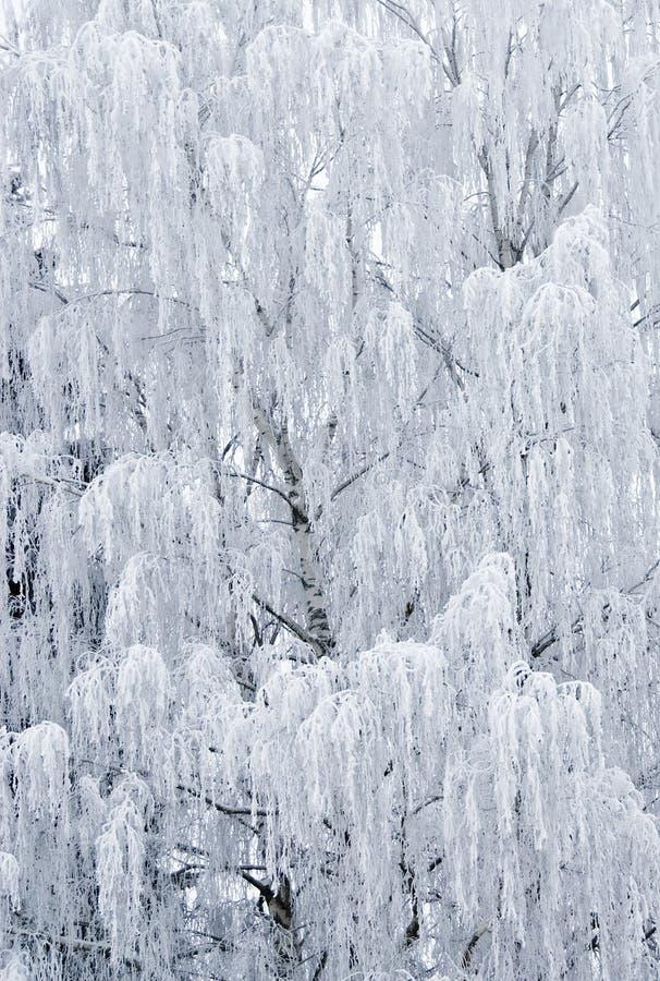 Birch Tree Frozen royalty free stock image