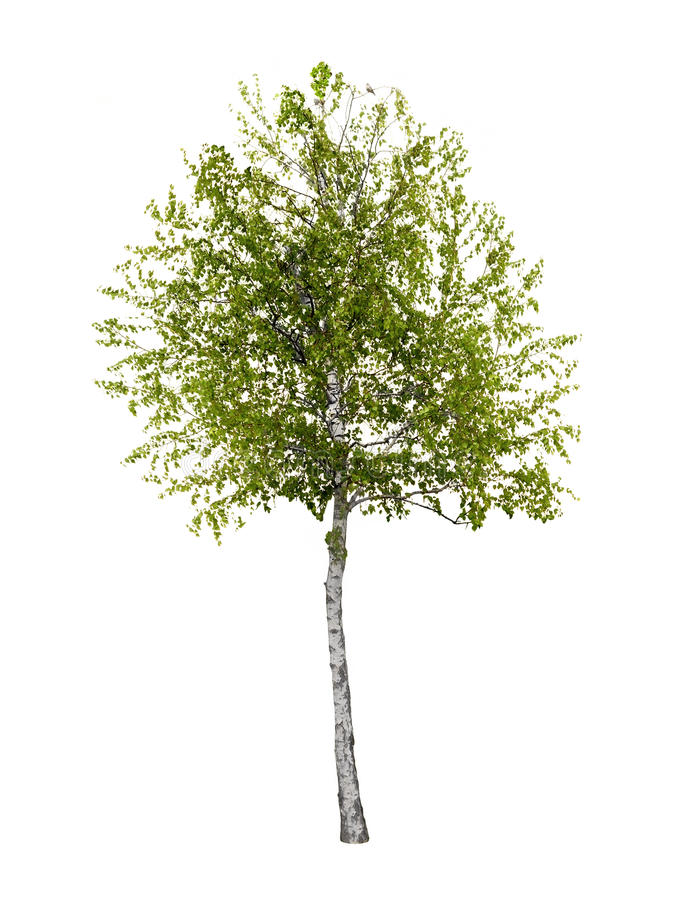 Free Birch Tree Isolated Royalty Free Stock Images - 53905159