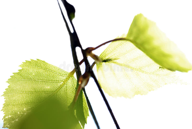 Birch tree leaf stock image