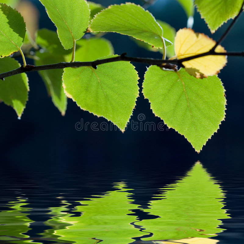 Birch tree leaves reflection
