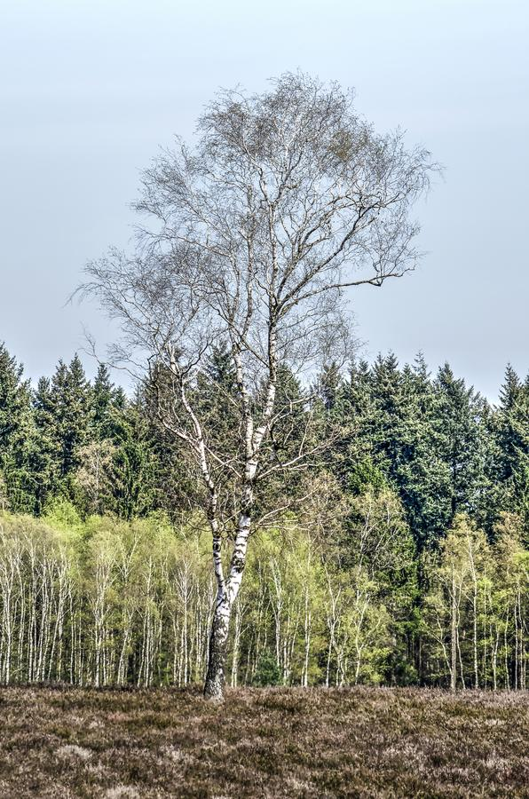 Birch tree on the moor. Single birch tree growing on haethland close to the forest edge near Heerde, The Netherlands royalty free stock photo