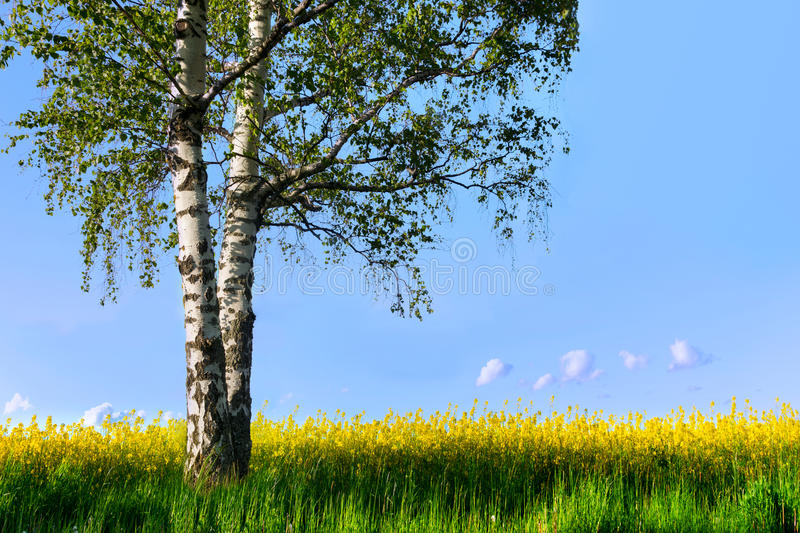 Birch tree in rapeseed plant field royalty free stock images