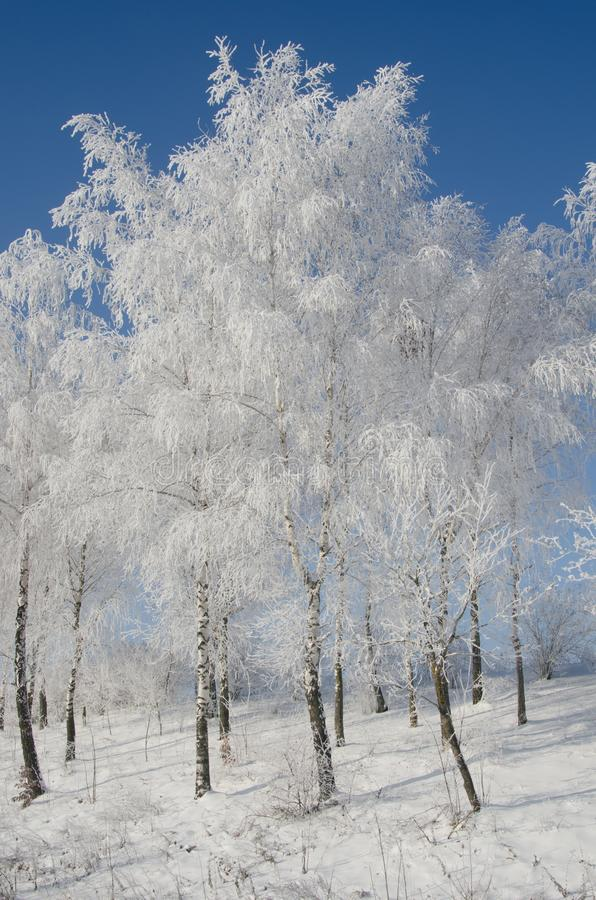 Birch tree in the snow royalty free stock image