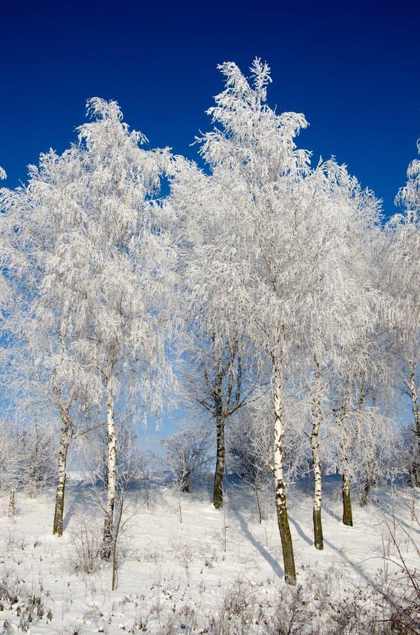 Birch tree in the snow stock photo