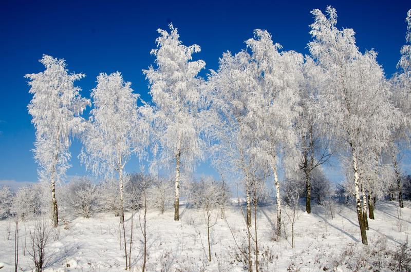 Birch tree in the snow royalty free stock photos