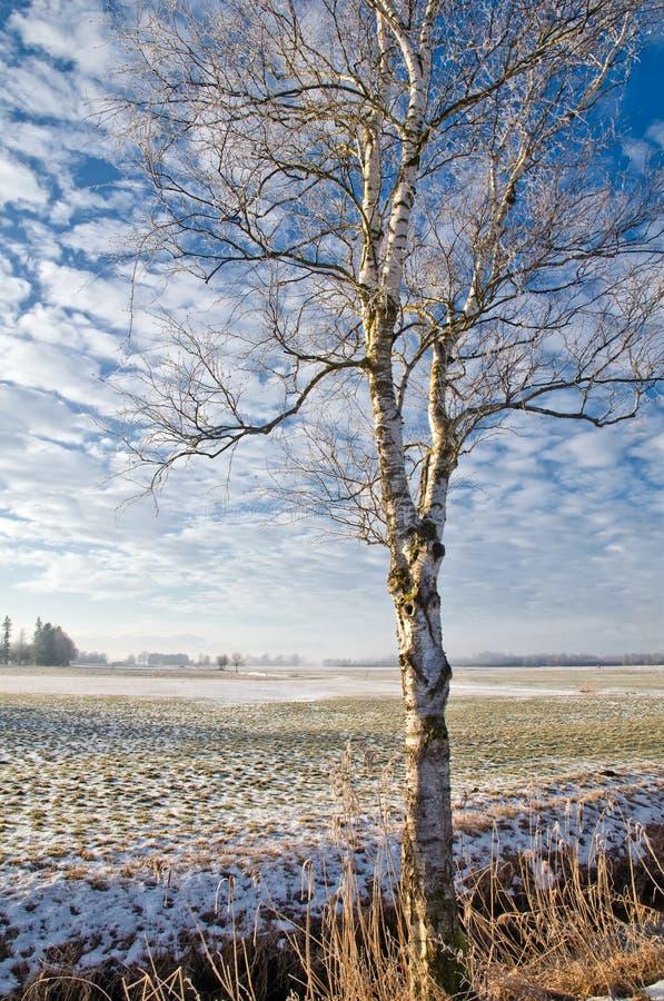 Birch tree in snowy landscape royalty free stock photos